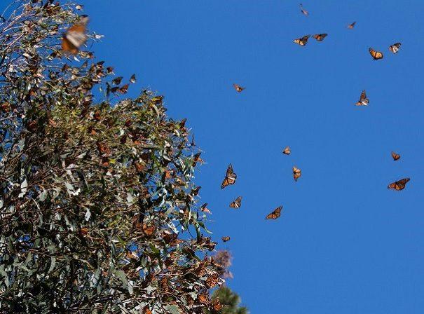 monarchs-mexico