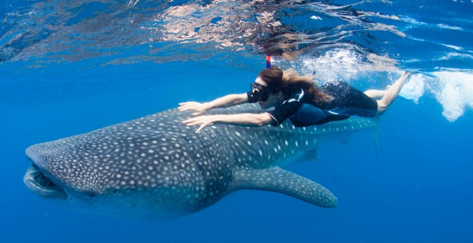 Swimming-with-whale-shark-Isla-Contoy-690x355